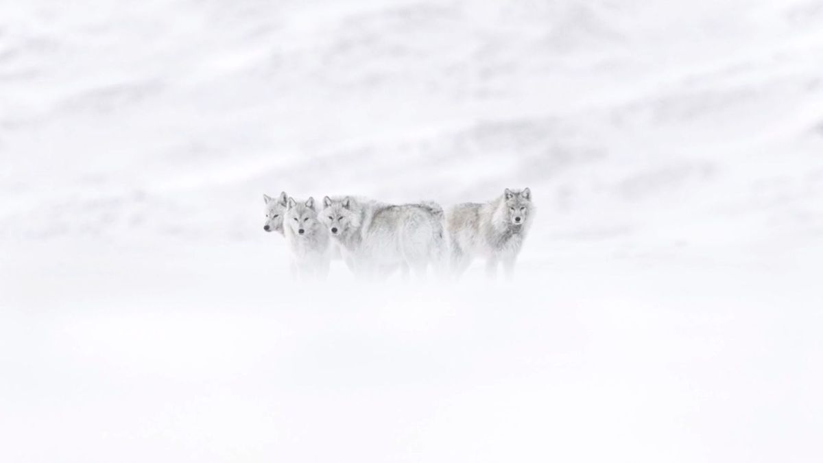 50 shades of white - Arktisfotograf Vincent Munier