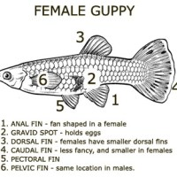 Breeding, Reproduction And Care For Fry!!!