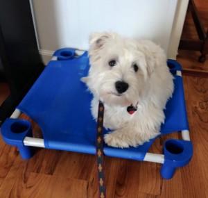 teddy-dog-training-Reston-VA