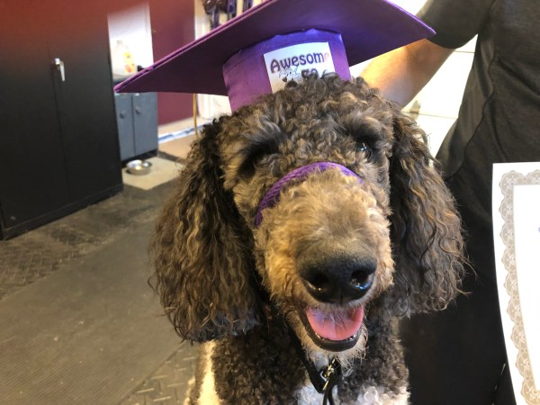 Jack the Standard Poodle is much easier to handle now because of Awesome K9 Training in Ottawa