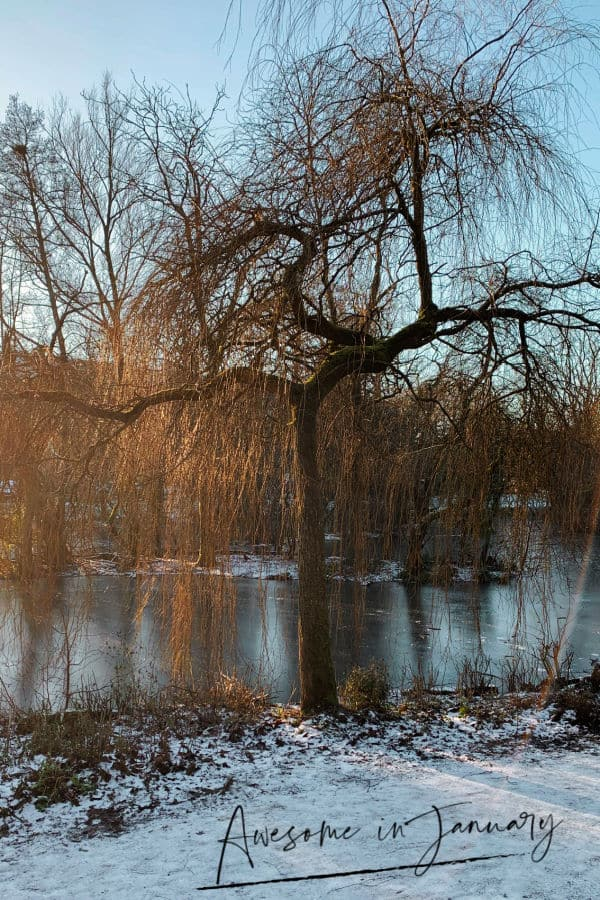 Awesome in January - Willow tree in winter near a frozen pond