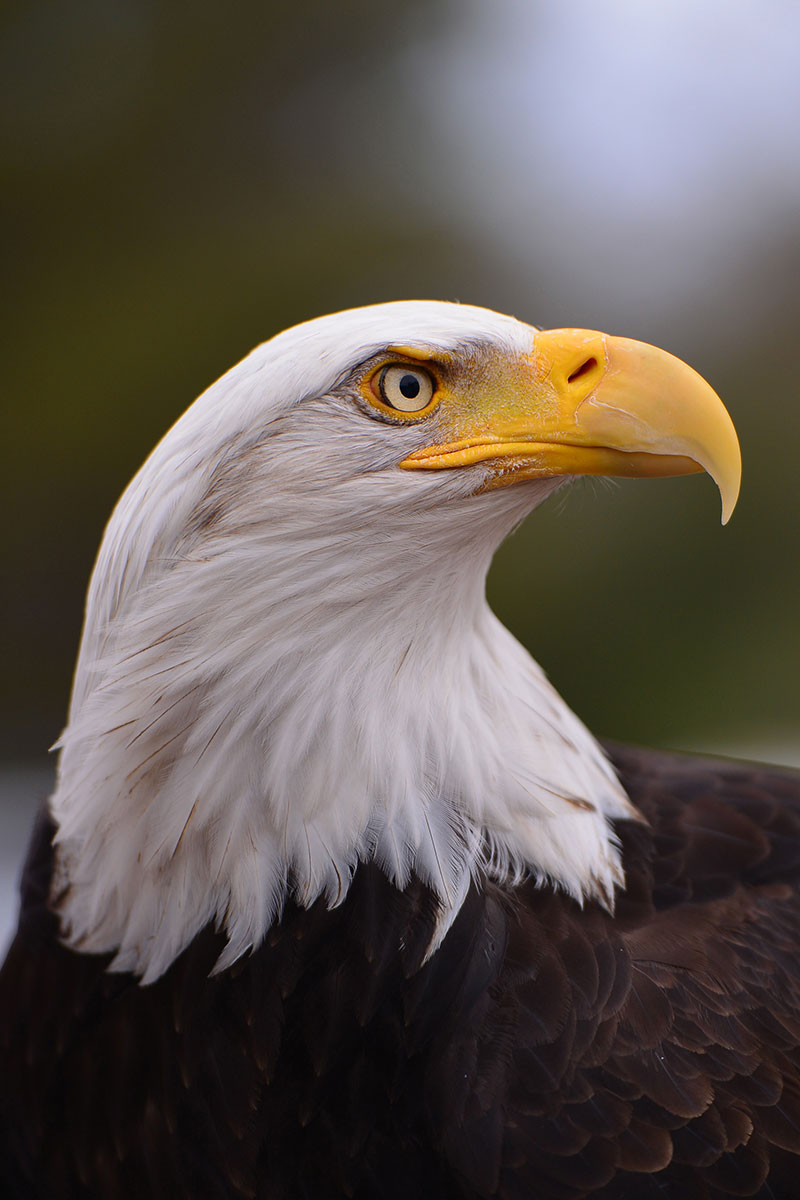 Sequoia the Bald Eagle