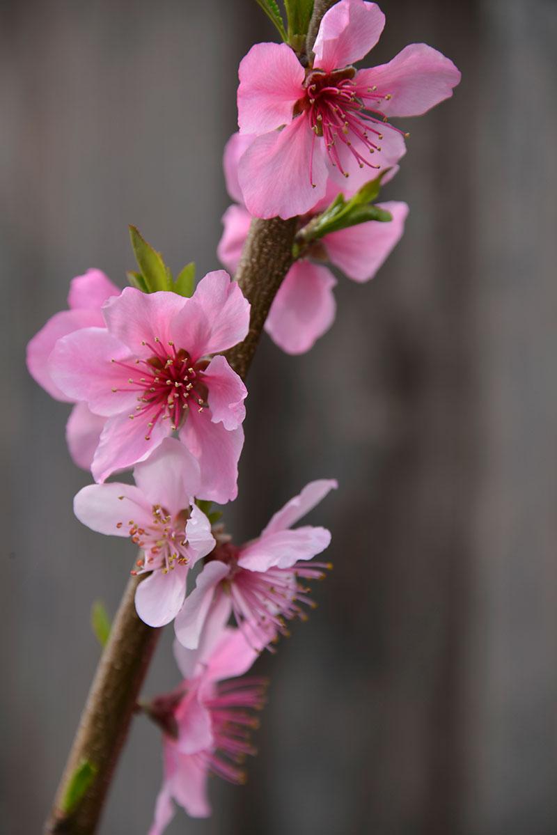 donut peach blossom
