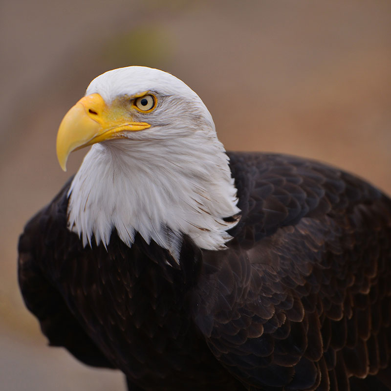 sequoia-bald-eagle-6554
