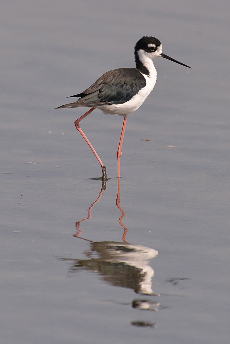 black-necked-stilt_1613