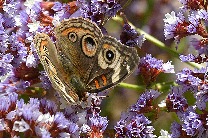 common-buckeye_9665