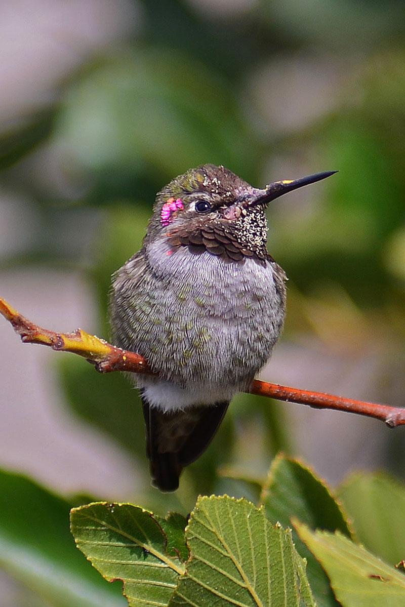anna-hummingbird_2322