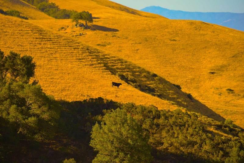 california-cow_0032