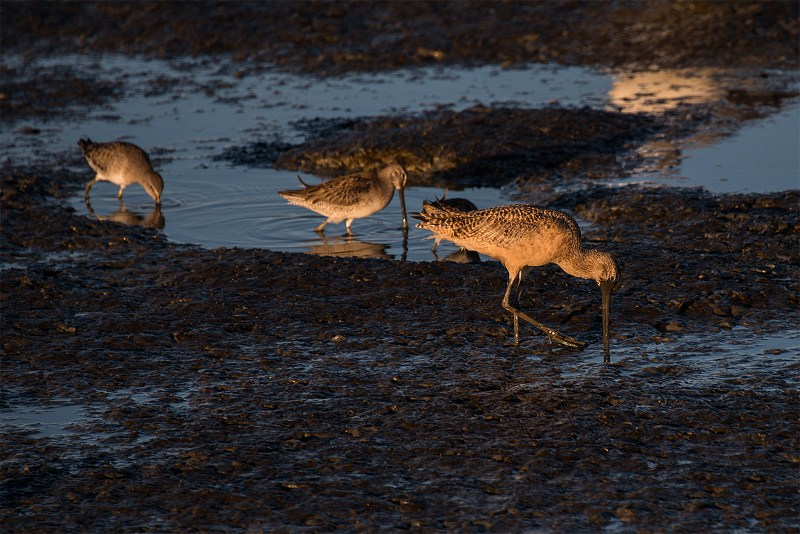 Black Tailed Godwits at Low Tide