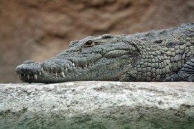 nile_crocodile_head