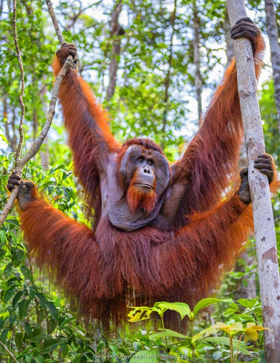 Indonesia, Central Kalimatan, Tanjung Puting National Park. A large male Bornean Orangutan with distinctive cheek pads hanging in a tree.