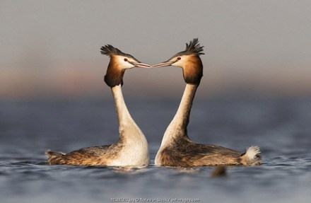 Great Crested Grebes (Podiceps cristatus) in courtship display on the water, The Netherlands, Noord-Holland