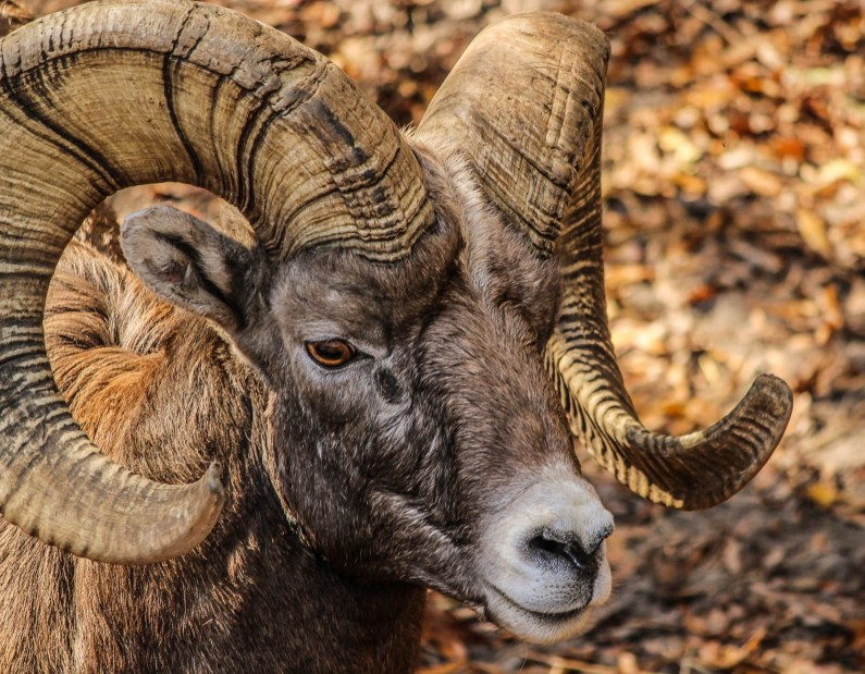 Black/brown ram