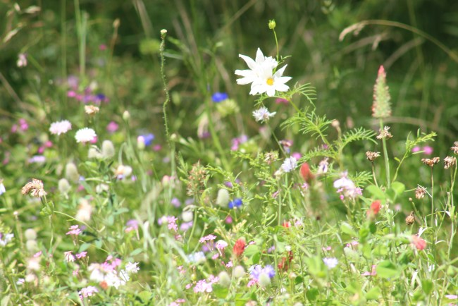 Too busy for a garden- wildflowers
