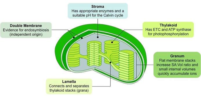 Lamellae Labeled Leaf Diagram