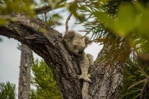 koala, magnetic island