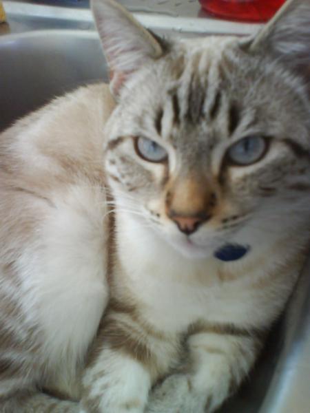 des yeux bleus chez un chat ni point