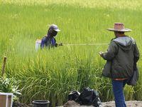 Petani Sebut Panen Gabah Kering Indramayu Capai 7,8 Ton/Hektare