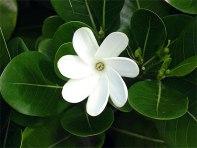 fleur_de_tiare_19475