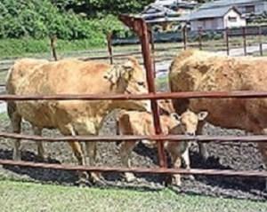 土佐の褐牛(あかうし)