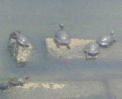 途中で見つけた亀の群れ。