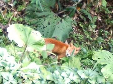 ヌプントムラウシ林道にてキタキツネに遭遇。