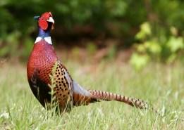 Jual Ayam Ringneck Pheasent dari Anakan atau Bibit sampai Indukan Siap Produksi
