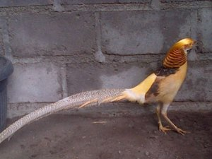 yellow pheasant