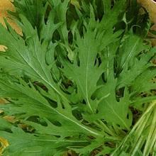 Правильное выращивание японской капусты из семян