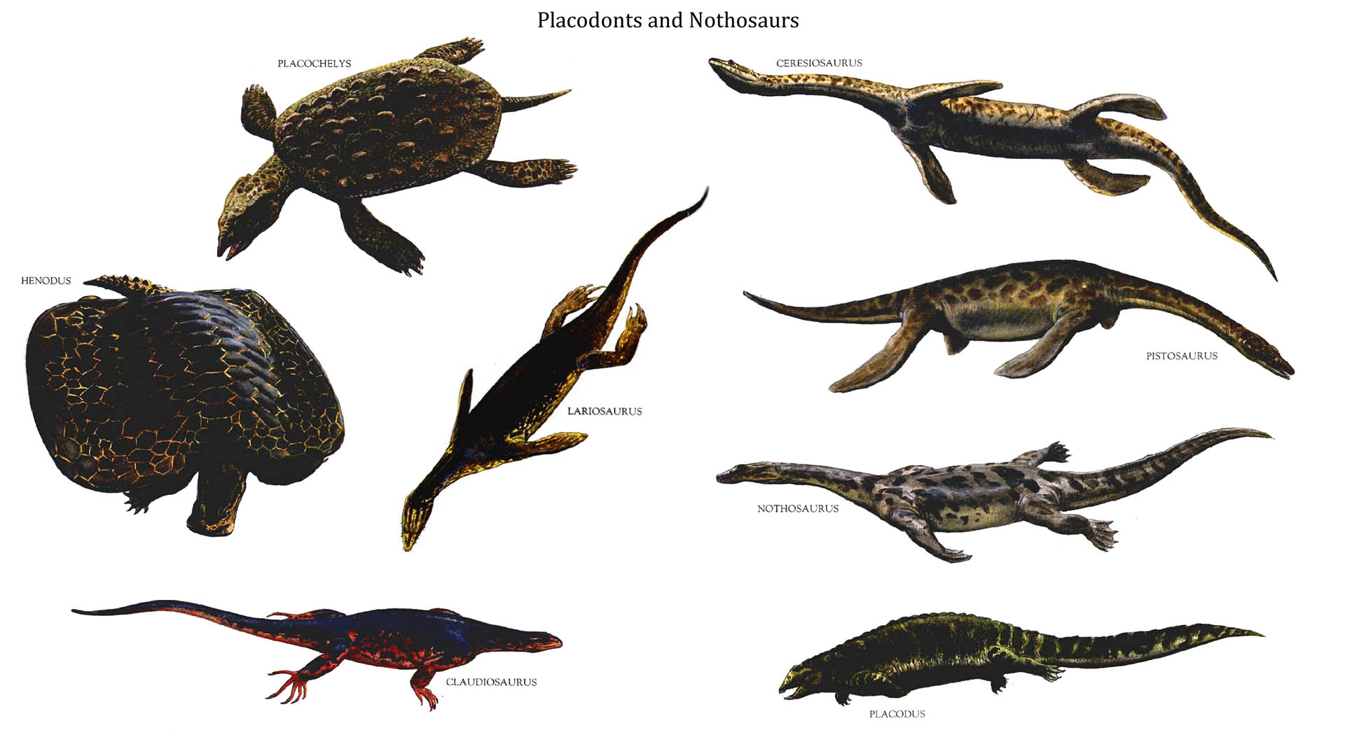 Images About Fossil Reptiles Placodonts On