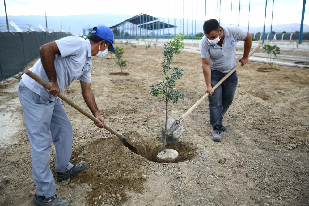 Büyükşehir Sakız ağaçlarını toprakla buluşturdu