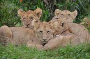 Tsavo lions, Kenya
