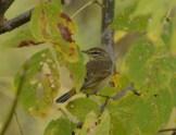 Palm Warbler, Fall Plumage