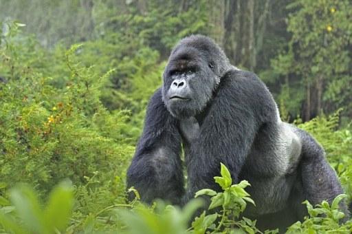 uganda goril
