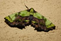 Mittonia hampsoni moth with striking green colouration