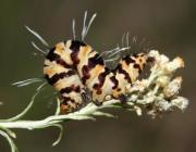 Rhanidophora sp