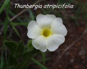 Thunbergia atripicifolia