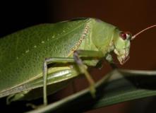 Eurycorypha leaf katydid