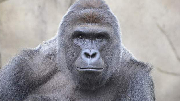 Why does the death of a gorilla hurt us so much?