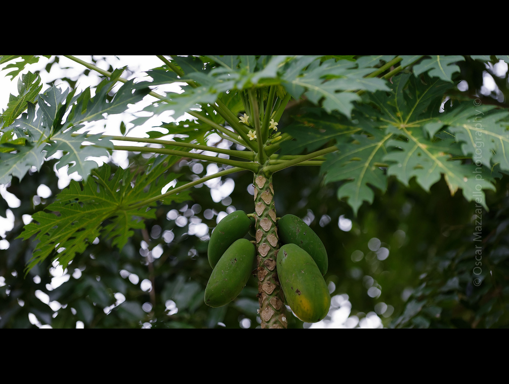 Papaya Tree Image source - https://www.flickr.com/photos/mazzarello/6102284331/sizes/l