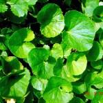 Mandukaparni — Benefits and medicinal uses
