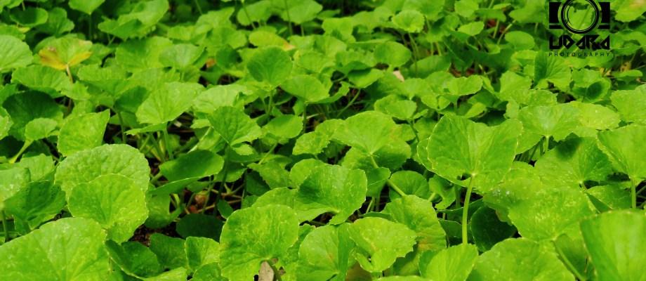 Amazing benefits of Mandukaparni