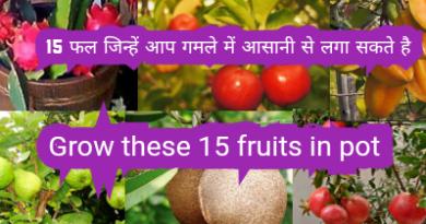 15 fruit plant in pot