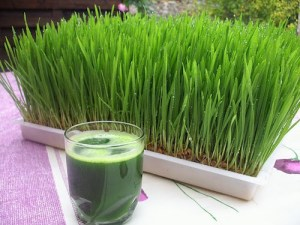 wheatgrass juice benefits side effects in hindi wheatgrass side effects in hindi wheatgrass side effects and their prevention wheatgrass nutrition wheatgrass side effects wheatgrass dangers how to use wheatgrass powder where to buy wheatgrass how much wheatgrass per day