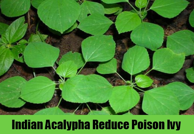 Indian Acalypha Reduce Poison Ivy