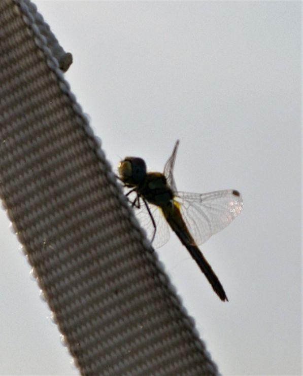 libellule clandestine