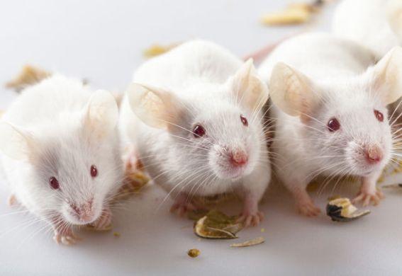 ネズミ実験