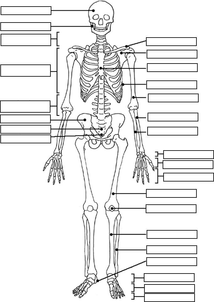 muscular system coloring pages medical anatomy