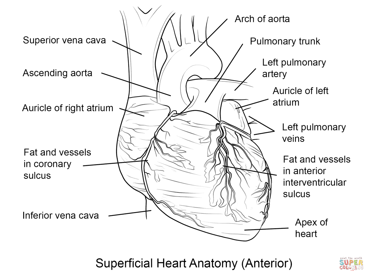Anatomy Coloring Pages Heart