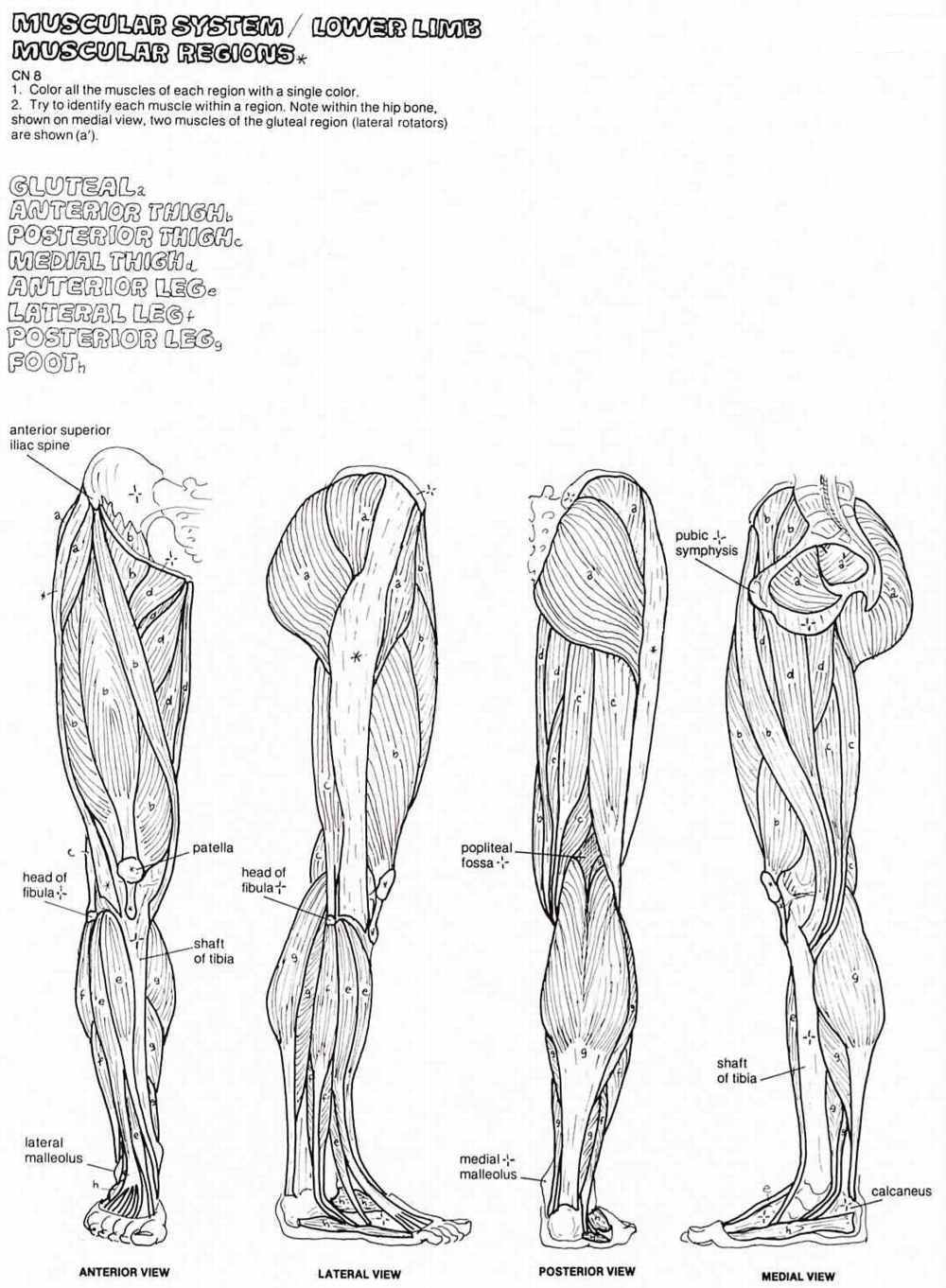 muscle coloring page az coloring pages